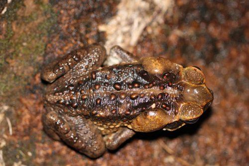 ropucha olbrzymia Rhinella (dawniej Bufo) marinus