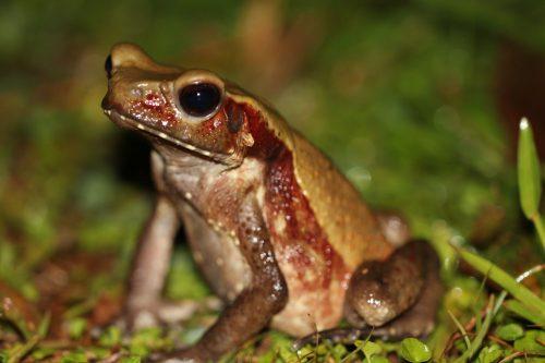 Rhaebo (dawniej Bufo) guttatus, po angielsku zwana Smooth-sided toad